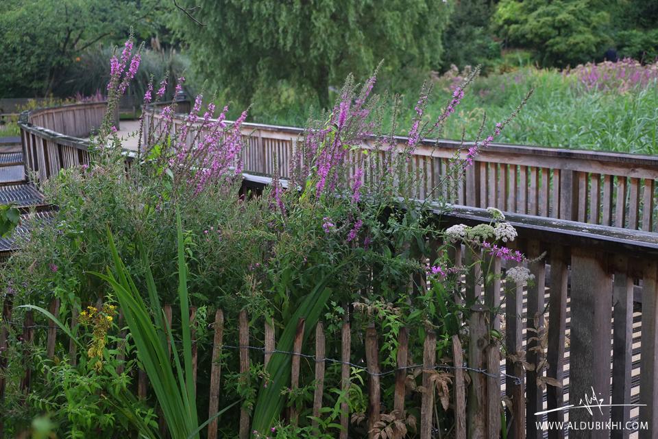 لندن | مقاعد الورد، حديقة ريجنت بارك | فهد الدبيخي